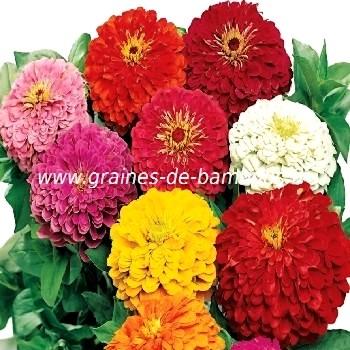 Zinnia lilliput fleur couleur mix