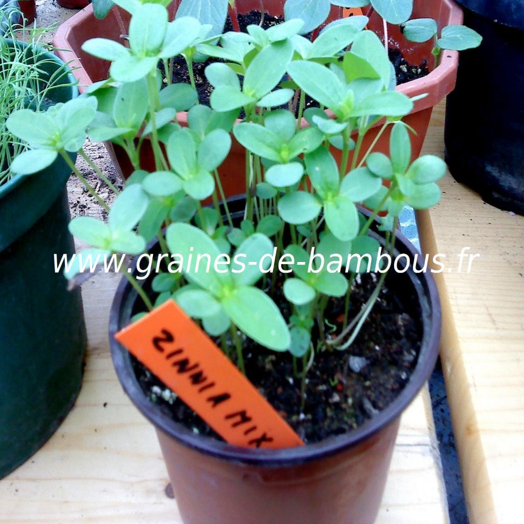 zinnia-mix-lilliput-semis-www-graines-de-bambous-fr.jpg