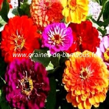 zinnia-mix-lilliput-www-graines-de-bambous-fr-1.jpg