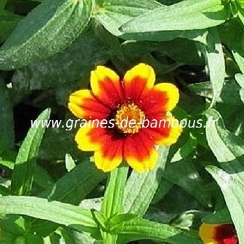 Zinnia persian carpet graines de bambous fr