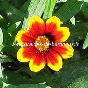 Zinnia persian carpet graines de fleurs