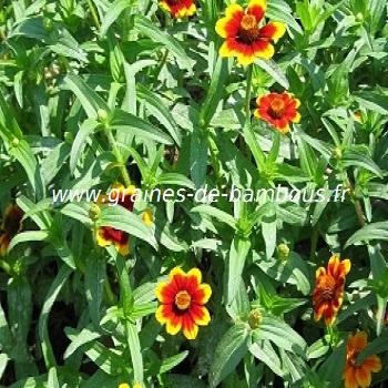 zinnia-tapis-persan-www-graines-de-bambous-fr-1.jpg