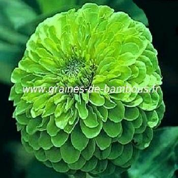 Zinnia vert réf.414