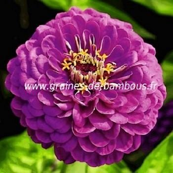Zinnia violet royal purple réf.742