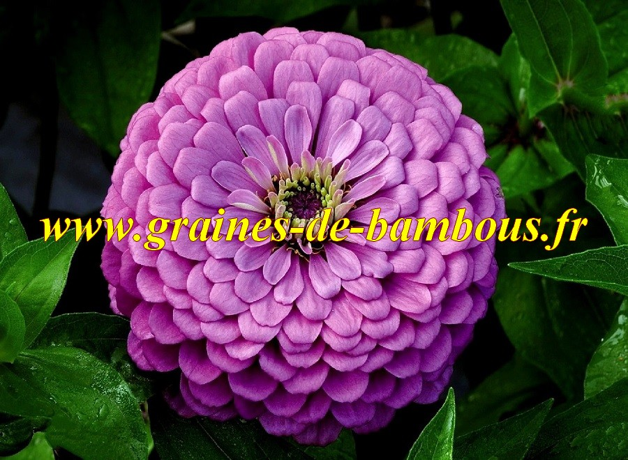 Zinnia violet royal purple