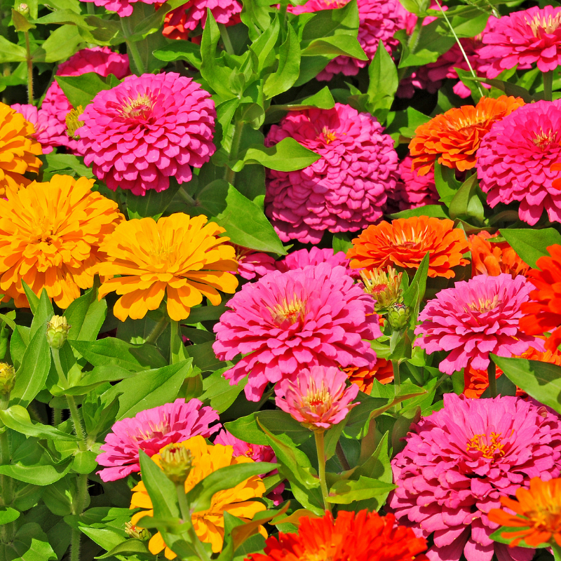 Zinnias mix nain graines de bambous 2